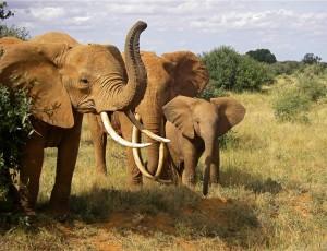 Elephants. All photos copyright © Tom Bennigson/Open Heart Safari.