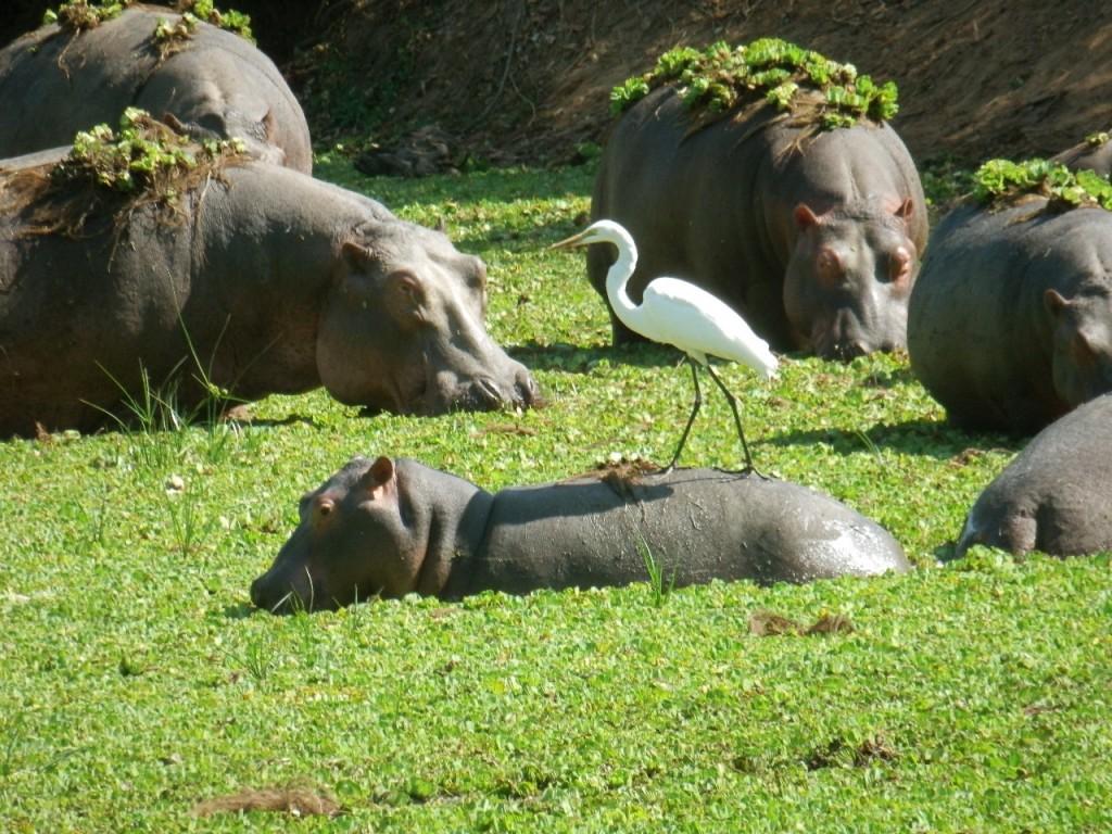 Hippos with Bird. All photos copyright © Tom Bennigson/Open Heart Safari.