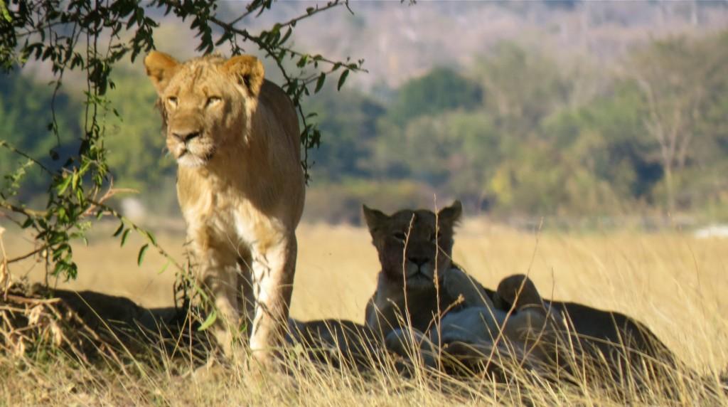 Lions. All photos copyright © Tom Bennigson/Open Heart Safari.