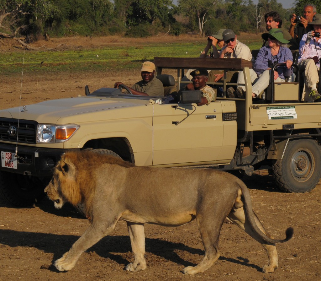 Lion walks near safari Jeep. All photos copyright © Tom Bennigson/Open Heart Safari.