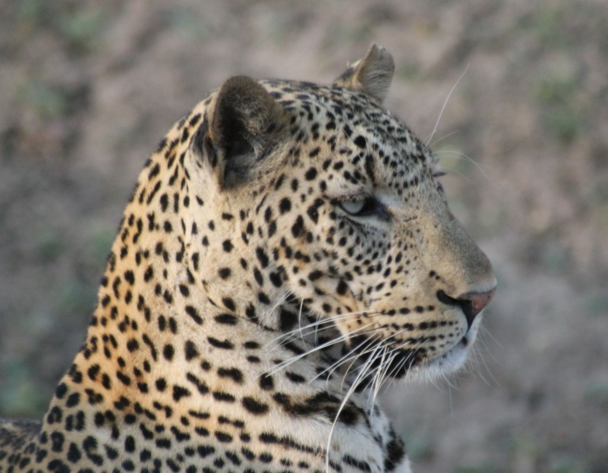 Leopard. All photos copyright © Tom Bennigson/Open Heart Safari.
