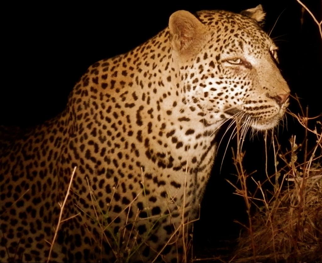 Leopard at night.
