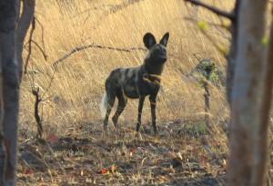 Wild dog, Kafue National Park