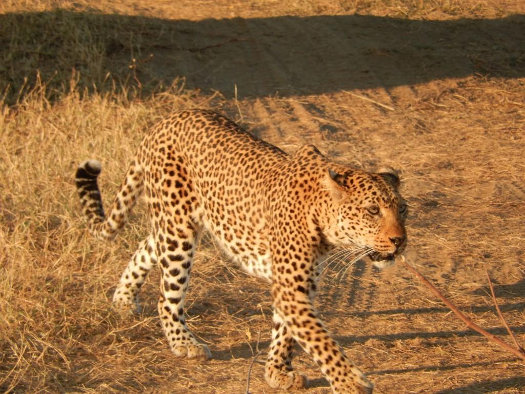 Leopard. All photos copyright © Tom Bennigson/Open Heart Safari.