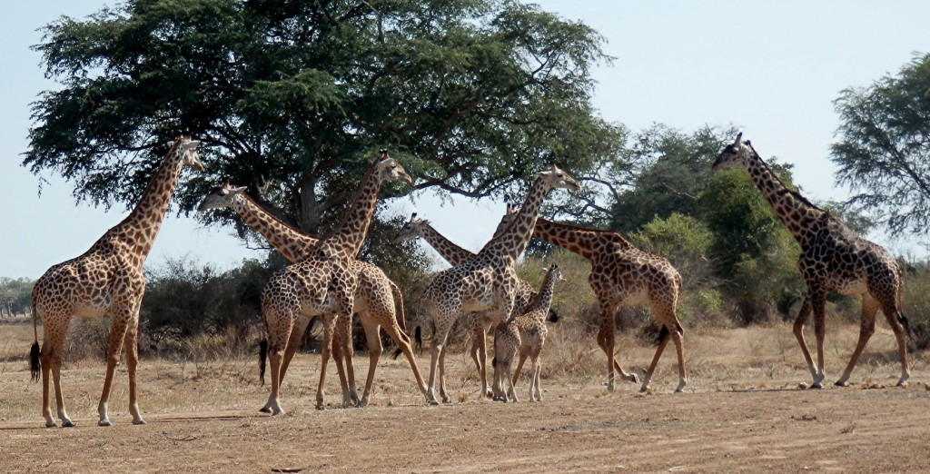 Giraffes! All photos copyright © Tom Bennigson/Open Heart Safari.