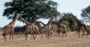 Giraffes! All photos copyright © Tom Bennigson/Open Heart Safari.