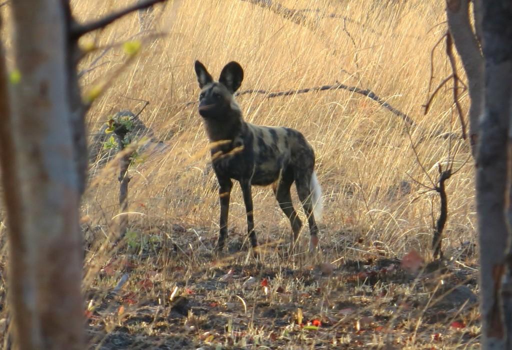 Dog. All photos copyright © Tom Bennigson/Open Heart Safari.